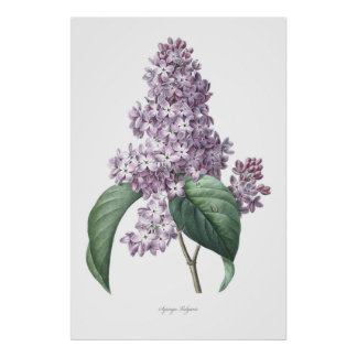 Nature,botanical print,flower art of  Lilac Poster