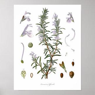 Nature,botanical print,flower art of Rosemary Poster