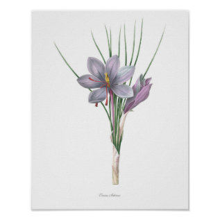 Nature,botanical Print,flower Art Of Saffron Poster at Zazzle