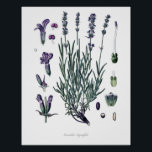 """Nature,botanical print,flower art of True Lavender Poster<br><div class=""""desc"""">Beautiful and sharp vintage botanical illustration with Latin name of the flower. Digitally enhanced to finest level,  it can be resize without losing quality.</div>"""
