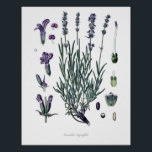 "Nature,botanical print,flower art of True Lavender Poster<br><div class=""desc"">Beautiful and sharp vintage botanical illustration with Latin name of the flower. Digitally enhanced to finest level,  it can be resize without losing quality.</div>"