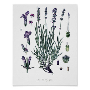 Nature,botanical Print,flower Art Of True Lavender Poster at Zazzle