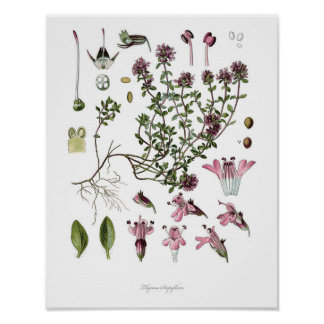 Nature,botanical print,flower art of Wild Thyme Poster