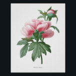 "Nature,botanical print,flower art poster of Peony<br><div class=""desc"">Beautiful and sharp vintage botanical illustration with Latin name of the flower. Digitally enhanced to finest level,  it can be resize without losing quality. Lovely botanical artwork painted by Pierre-Joseph Redouté</div>"