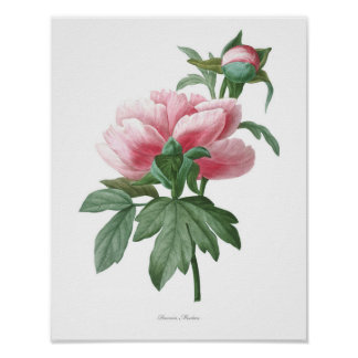Nature,botanical print,flower art poster of Peony