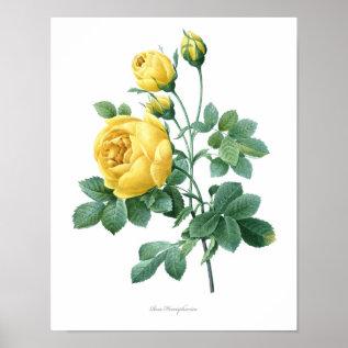 Nature, Botanical Print, Flower Art Poster Of Rose at Zazzle