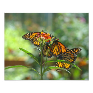 Nature Photography art prints Monarch Butterflies Photograph