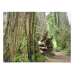 Nature Photography Redwood Trees Forest Photo Art