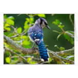 Nature Photography Shy Blue Jay Apparel Gifts Greeting Card