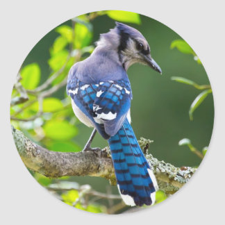 Nature Photography Shy Blue Jay Apparel Gifts Classic Round Sticker