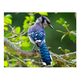 Nature Photography Shy Blue Jay Apparel Gifts Postcard