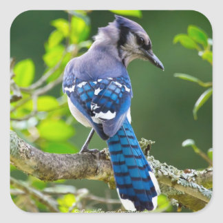 Nature Photography Shy Blue Jay Apparel Gifts Square Sticker