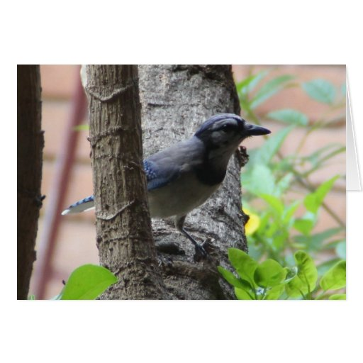 Nature Series, Blue Jay in Tree Card