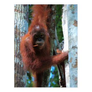 Nature's Redhead: the red ape Postcard