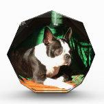Navidad de Boston Terrier con el gaitero