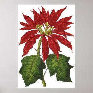 Navidad del vintage, Poinsettia rojo Poster