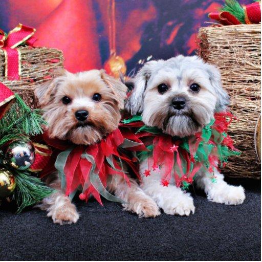Navidad - Morkie - Jackie y Tabby Esculturas Fotograficas