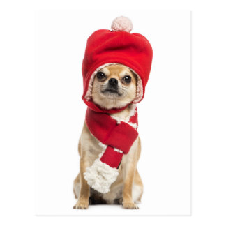 Navidad que lleva gorra y bufanda de la chihuahua tarjetas postales