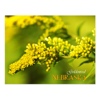 Nebraska State Flower: Goldenrod Postcard