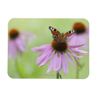 Néctar de consumición de la mariposa de pavo real  iman de vinilo