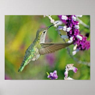 Néctar del colibrí póster