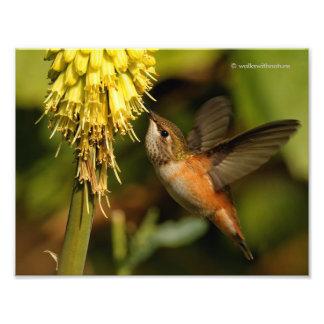 Néctar del Kniphofia del colibrí que sorbe rufo Fotografía