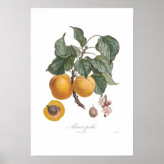 Nectarina Posters