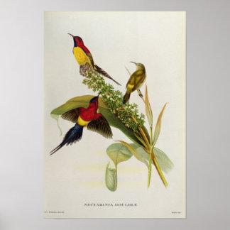 Nectarinia Gouldae Impresiones