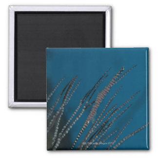 Needle shrimp (Tozeuma armatum) underwater Magnet