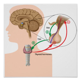Negative feedback pituitary thyroid axis Poster
