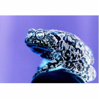 Negro azul invertido foto del sapo de la rana escultura fotografica