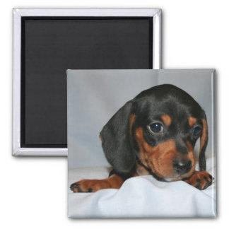 Negro/perrito del Dachshund de Brown Imán Cuadrado