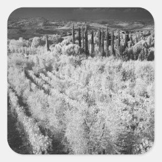 Negro y blanco de viñedos, Montepulciano, Italia Calcomanias Cuadradas