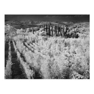 Negro y blanco de viñedos, Montepulciano, Italia Tarjetas Postales