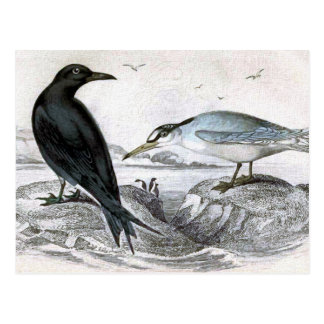 Negro y poca golondrina de mar tarjetas postales