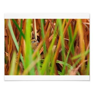 Nelson's Sparrow Peeking Through Cattails Photo Print