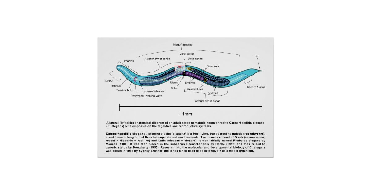 Nematode Roundworm Caenorhabditis Elegans Diagram Poster