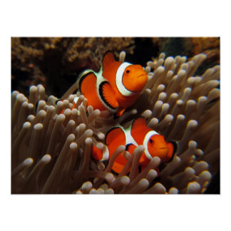 Nemo Clown Fish Print