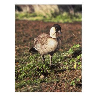 Nene Goose (Hawaiian goose) Postcard