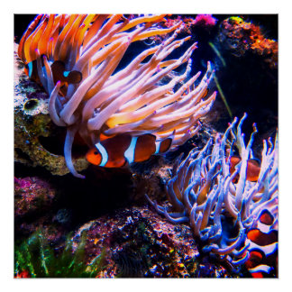 Neon Clown Fishes Poster