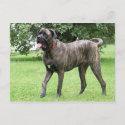 Neopolitan Mastiff Cyclone 01 Post Card