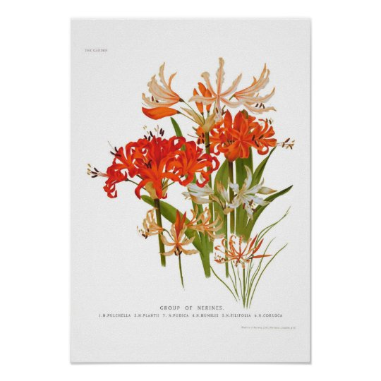 Nerines Poster