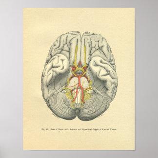 Nervios craneales del cerebro anatómico de Frohse Póster