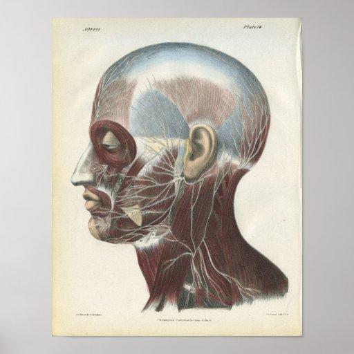 Nervios de la impresión de la anatomía del cuello poster