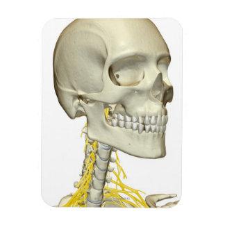 Nervios del cuello rectangle magnet