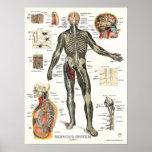 Nervous System Anatomy Poster 18 X 24