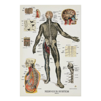Nervous System Anatomy Poster 24 X 36