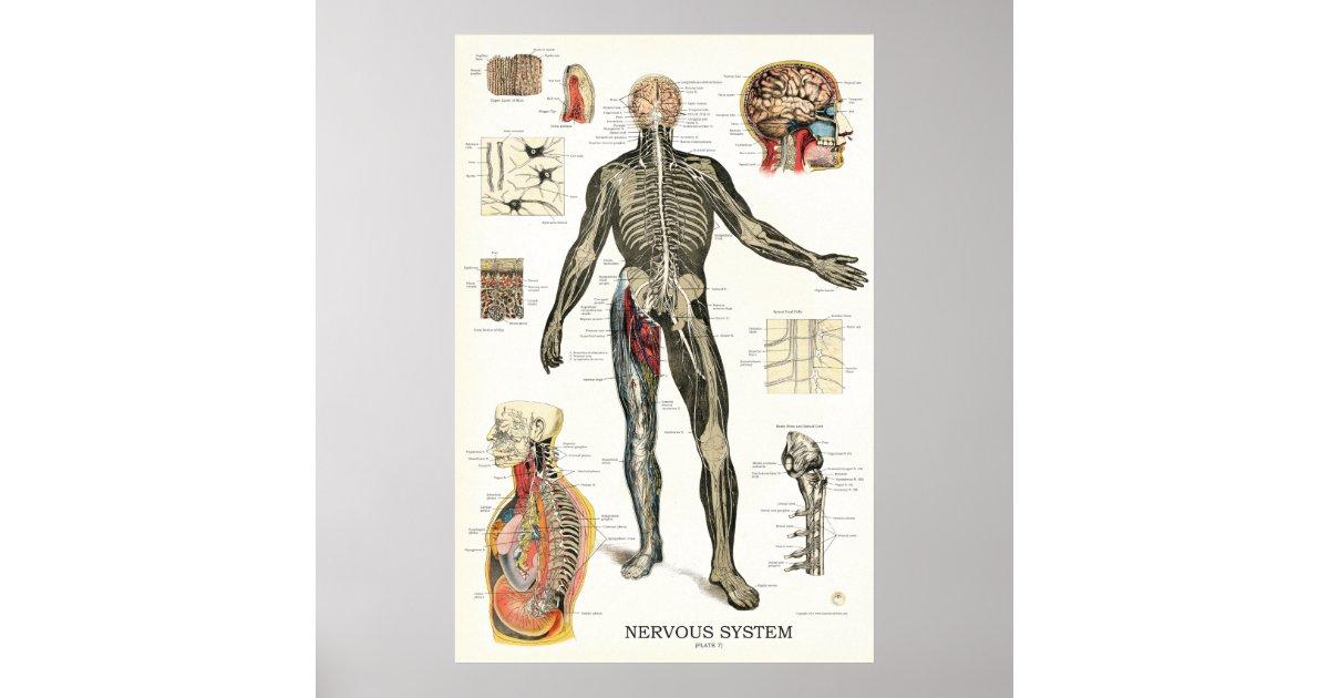 Nervous System Anatomy Poster 24 X 36 Zazzle