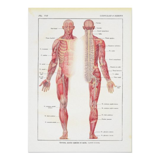 Nervous System Anatomy Poster in French
