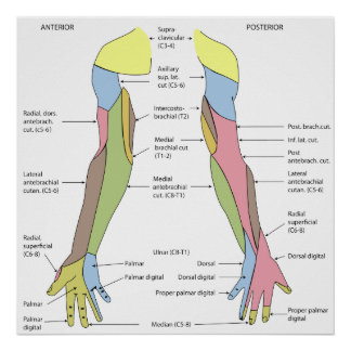 Nervous System Cutaneous Innervation Right Limb Posters